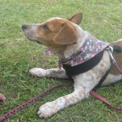 Ditsy Daisy Dog Bandana