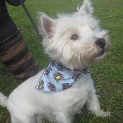 Wallace in blue campervan dog bandana