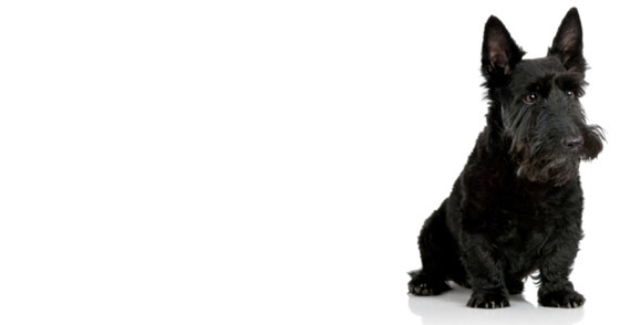 Scottie Dogs Bandanas