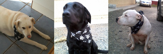 pirate pooches in skull and crossbones dog bandanas