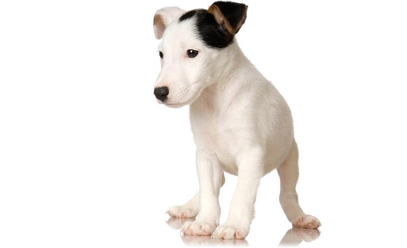 About Puppy Bandana