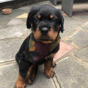 camouflage dog bandana from Puppy Bandana