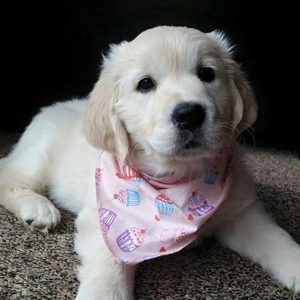Cupcake Heaven in Pink Dog Bandana