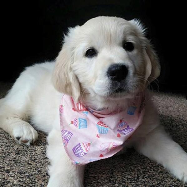 Cupcake Heaven in Pink Dog Bandana