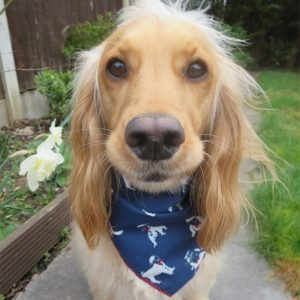 Pugs Bandana in Navy Blue