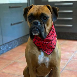 Red Bow Tie Dog Bandana