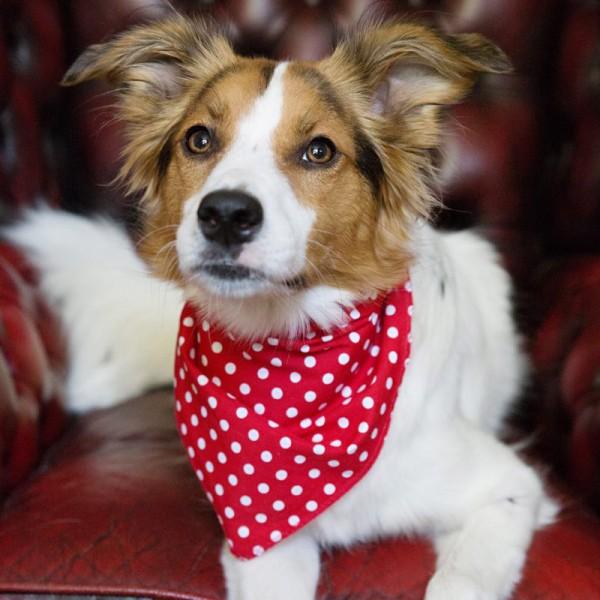 Red Spotty Hanky Dog Bandana