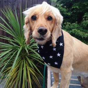 Black Stars Dog Bandana