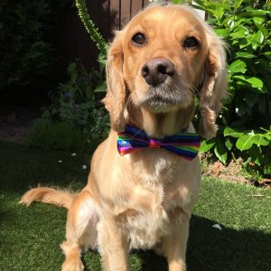 Rainbow Dickie Bow for Dogs
