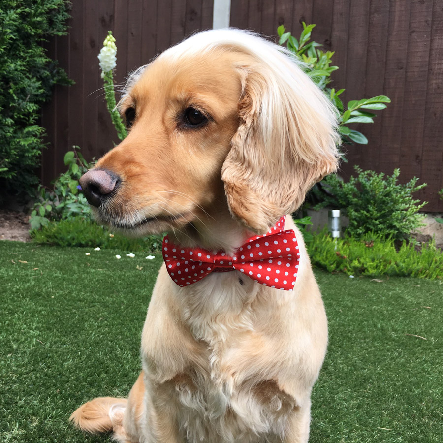 Large Red Spotty Bow Tie for Dogs
