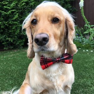 Large Tartan Dickie Bow for Dogs