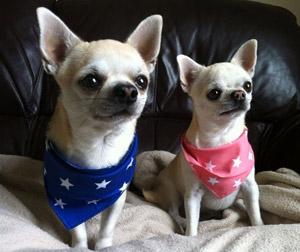 Chihuahuas wearing extra small dog bandana in a star pattern