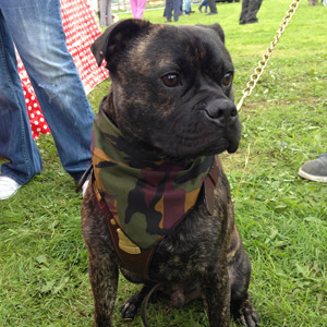 Staffordshire Bull Terrier wearing a camouflage dog bandana