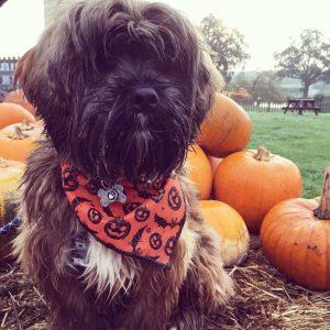 Halloween Bats and Pumpkins Dog Bandana in Orange from Puppy Bandana