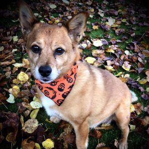 Halloween Bats and Pumpkins Dog Bandana
