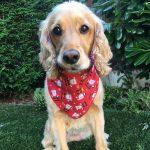 Santa Claus Dog Bandana from Puppy Bandana