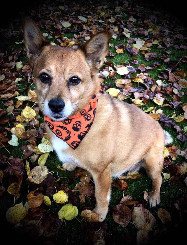 Monty's Bats and Pumpkins Dog Bandana from Puppy Bandana