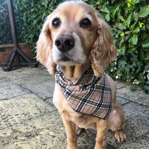 Furberry not burberry dog bandana checked dog bandana from puppy bandana
