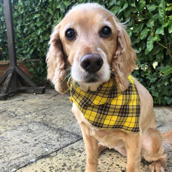 Yellow Tartan Checked Dog Bandana